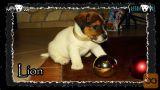 Jack Russell kratkodlaki mladiči! (Pro/HD video) Jack Russel