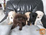 Psi mladiči - mešančki labrador/zlati prinašalec