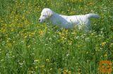 Labrador Retriever mladički