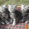 kratkodlaki Britanski Whiskas mački