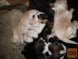 mladiči beagle