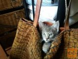 Oddamo štiri navihane mačje mladičke