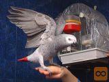 inteligentna afriška siva papiga...