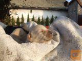 Labrador retriver stenci na prodaju