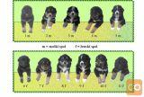 Ljubki mešančki med bernskim planšarjem in labradorcem