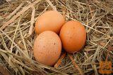 Domača sveža kokošja jajca proste reje
