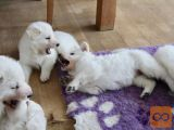 Beli švajcarski ovcar i belgijski ovčar štenci na prodaju