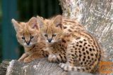 Savannah mačića