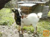 Mini himalajski pritlikavi kozel