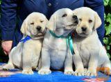 Labrador retriver i bullmastif stenci na prodaju
