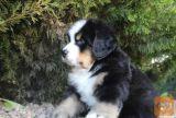 Bernski planinski pas i bernardinac stenci na prodaju